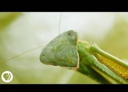 Enlace a La curiosidad más fascinante de las mantis