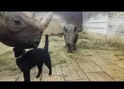 Enlace a Los gatos siempre haciendo amigos, hasta con los rinocerontes