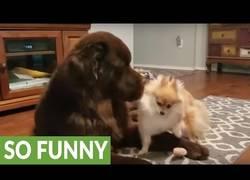 Enlace a Perro Terranova se hace el muerto para evitar la ira del chucho enano