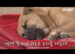 Enlace a El perro que no puede dejar de aullar toda la noche mientras intenta dormir :(