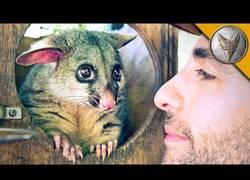 Enlace a Coyote Peterson conoce a un lindo marsupial que te robará el corazón