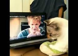 Enlace a Este gato toma clases de Gordon Ramsay para aprender a amasar