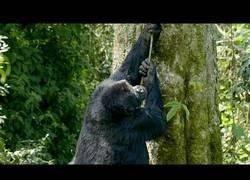 Enlace a No es fácil trepar por los árboles para los gorilas de espalda plateada