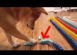 Enlace a La emoción de este perro para tirar un efecto dominó de 1000 piezas