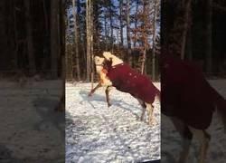 Enlace a La gran diversión de este caballo jugando con su pato de peluche