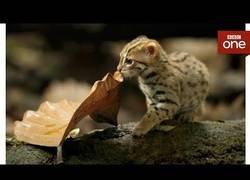Enlace a Graban al prionailurus rubiginosus, el felino más pequeño del mundo