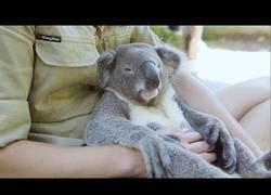 Enlace a El koala más adorable que verás en tu vida