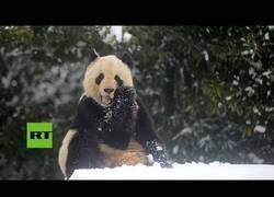 Enlace a La felicidad máxima de esta osa panda al ver la nieve y poder disfrutar de ella