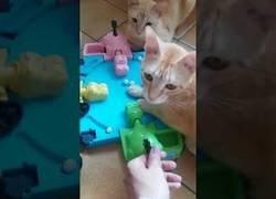 Enlace a Definitivamente el juego favorito de los gatos es el tragabolas