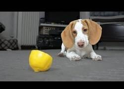 Enlace a Este perrito encuentra el mejor jueguete en un limón