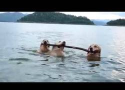 Enlace a El gran trabajo en equipo de estos perritos al usar un palo para nadar