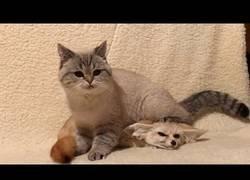 Enlace a El gatico y un zorro feneco se hacen grandes amigos en casa
