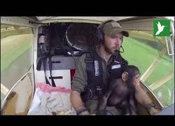 Enlace a Este chimpancé bebé tuvo mucha suerte de volar a un nuevo hogar
