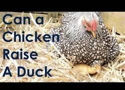 Enlace a ¿Puede una gallina criar un pato?