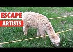 Enlace a Animales expertos en escapar de su lugar de vivir