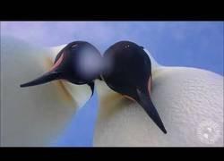Enlace a La tremenda curiosidad de estos pingüinos mientras les grababa una cámara