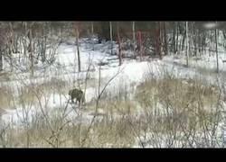 Enlace a Una tigresa aparece por sorpresa en un pueblo ruso y atemoriza a todo el mundo