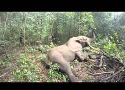 Enlace a El despertar de un elefante en mitad de la selva tras haberle colocado un localizador