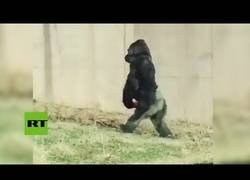 Enlace a Este gorila sorprendió a todos los turistas andando como si fuese un humano