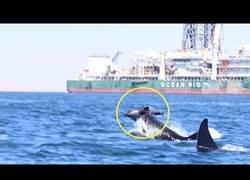 Enlace a El terrible ataque de dos orcas a un delfín ante la mirada de los científicos