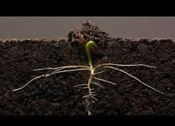 Enlace a El crecimiento diario de una alubia