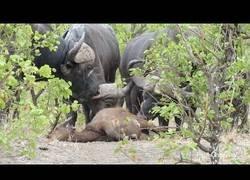 Enlace a Matan a su cría y este búfalo ahuyenta a una manada de leones