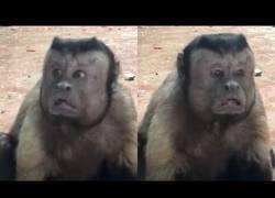 Enlace a La cara de este mono está causando sensación al ser unas caras 'muy humanas'