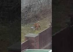Enlace a Este zorro ha encontrado una nueva diversión y se lo pasa en grande