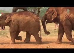 Enlace a Mamá de elefante le dice a su bebé que deje de jugar para acudir a comer