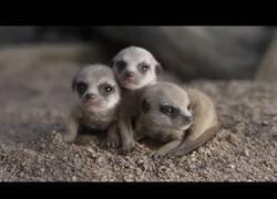 Enlace a Los adorables primeros pasos de estos suricatas bebés