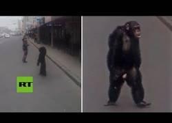 Enlace a Graban a un chimpancé paseando tan tranquilo por una ciudad rusa