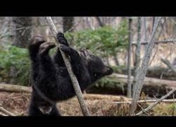 Enlace a No es fácil para un oso trepar por primera vez en un árbol