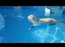 Enlace a Nunca había pensado ver un gato nadando y menos con este estilazo