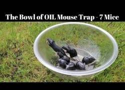 Enlace a Un bol con aceite es la trampa más diabólica para unas ratas