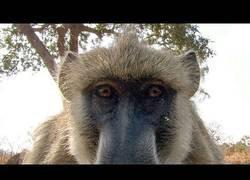 Enlace a La tremenda curiosidad de unos babuinos al ver su propio reflejo en una cámara