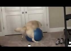 Enlace a La vida de este perrito se terminó al toparse con esta bola de yoga
