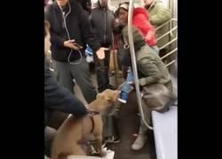 Enlace a Un pitbull entra en locura en el metro de Nueva York y ataca a una mujer