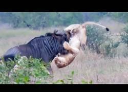 Enlace a Dos leonas frente a un Ñu: que empiece la batalla