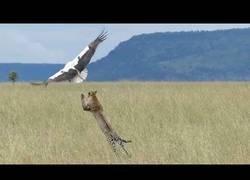 Enlace a La impresionante huída de esta cigüeña de las garras de un feroz guepardo con mucha hambre