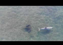 Enlace a Estaba grabando el mar con su drone hasta que captó la amistad entre un pez raya y un delfín