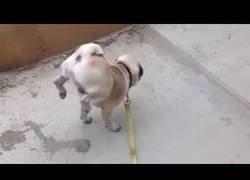 Enlace a Este perrito hace verdaderos equilibrismos para hacer pis