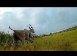 Enlace a Colocan una cámara a un guepardo y le graban como caza en primera persona