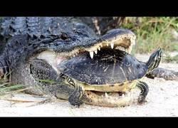 Enlace a Misión imposible es lo de este cocodrilo tratando de comerse a esta tortuga