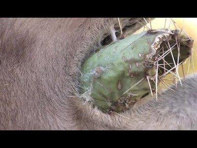 Nada le impide a un camello para comerse un cactuscon todas sus púas