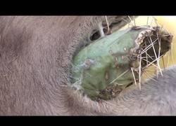 Enlace a Nada le impide a un camello para comerse un cactuscon todas sus púas