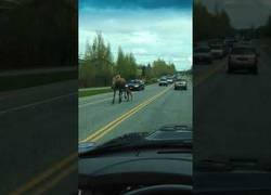 Enlace a Escoltando a una madre alce por la carretera