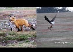 Enlace a Captan el momento en el que un zorro caza un conejo y después un águila caza a los dos