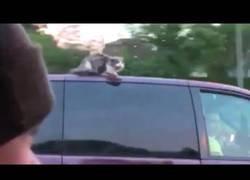 Enlace a Graban a un gato encima del tejado de un coche viajando a 100km/h
