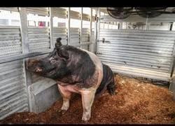 Enlace a Conoce al cerdo más grande de la feria estatal de Indiana