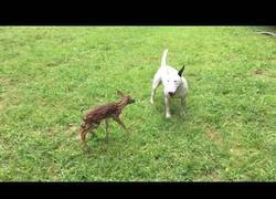 Enlace a Hoy en amistades extrañas: un bull terrier con  un ciervo
